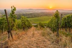 Soluppgång med druvor i en vingård arkivfoto