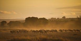 Soluppgång med en flock av gnu, Kenya royaltyfri fotografi