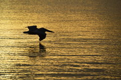 Soluppgång med pelikan Siloute i Bahia Concepcion, Baja California, Mexico Arkivfoto
