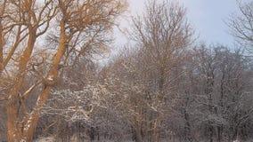 Soluppgång med snö på träd stock video