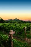 Soluppgång på en vingård. Arkivbilder