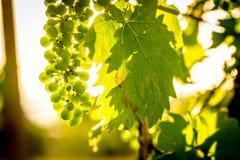 Soluppgång på vingården fotografering för bildbyråer
