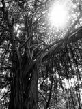 Soluppgångar på banyanträdet, Songkhla, Thailand Arkivbild