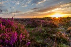 soluppgångglöd över ljung på färgrik heathland Royaltyfri Foto