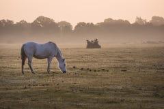 Soluppgånggryning i den nya skogen, vit häst som matar i dimmig morgon Arkivbild