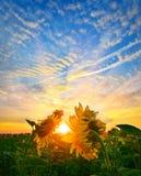 Soluppgångsolrosor Arkivbild