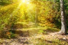 Soluppgångstråle i höstskogen arkivfoton