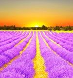 Soluppgång i ett lavendelfält Arkivfoto