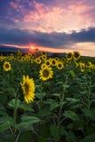 Soluppgång och solrosor Arkivbilder