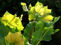 Solväxterna Arkivfoton