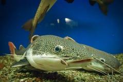 SOM ψαριών Στοκ φωτογραφίες με δικαίωμα ελεύθερης χρήσης