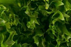 som bakgrund kan nytt grönsallattexturbruk Royaltyfri Foto