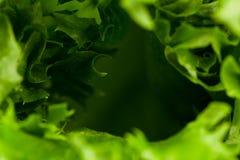 som bakgrund kan nytt grönsallattexturbruk Arkivfoto