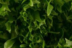 som bakgrund kan nytt grönsallattexturbruk Arkivbild