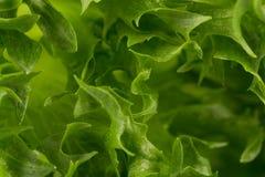 som bakgrund kan nytt grönsallattexturbruk Royaltyfri Fotografi