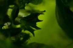 som bakgrund kan nytt grönsallattexturbruk Royaltyfria Bilder