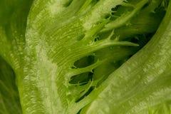som bakgrund kan nytt grönsallattexturbruk Fotografering för Bildbyråer