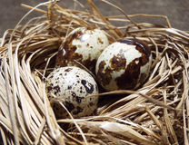 som bakgrundsägg många quail Royaltyfria Foton