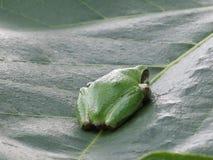 som costaen fann att grodagrodor som växer höga antyder name nicaragua annan vegetation för trees för panama ricatree typisk Arkivfoton