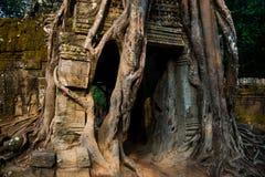 Som de Ta Árvores com raizes nas paredes angkor cambodia Fotografia de Stock