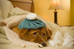 som den sjuka hunden Arkivfoto