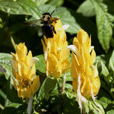 som det upptagna biet Fotografering för Bildbyråer