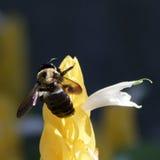 som det upptagna biet Arkivfoton