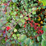 Som di Autumn Berry Blid Fotografie Stock