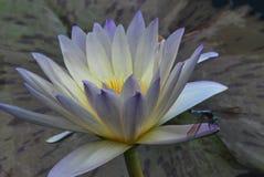 Som en målning: Ultraviolet waterlily, gult -hjärtad, medföljt av en nästan liknande färgad slända Arkivfoton