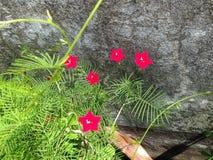 Som ett bönaträd med den röda blomman royaltyfria foton