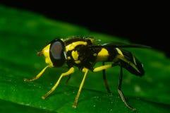 som förklädd klipsk wasp Royaltyfria Foton