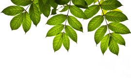 som gröna isolerade leaves för bakgrund Royaltyfri Bild