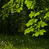 som kastanjebruna blom- goda leaves för bakgrund Royaltyfri Foto