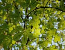 som kastanjebruna blom- goda leaves för bakgrund Arkivbild