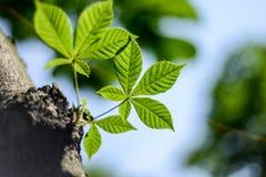 som kastanjebruna blom- goda leaves för bakgrund Royaltyfria Foton