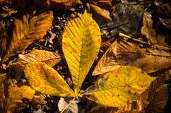 som kastanjebruna blom- goda leaves för bakgrund Royaltyfri Fotografi