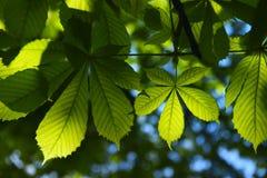 som kastanjebruna blom- goda leaves för bakgrund Arkivbilder