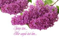 som lila purple för bakgrundsfilial Royaltyfri Bild