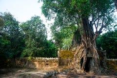 SOM TA Δέντρα με τις ρίζες στους τοίχους anglicanism Καμπότζη Στοκ Εικόνες