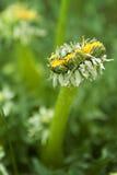 som undergår mutation maskrosogräs för FN-naturlig tillväxt royaltyfri foto