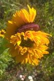 Som undergår mutation solrosor Royaltyfria Bilder