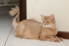 Somali cat. Beautiful somali cat fawn color indoor Royalty Free Stock Image