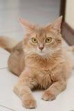 Somali cat. Beautiful somali cat fawn color indoor Royalty Free Stock Photos