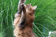 Somali cat. Beautiful Somali cat on the green field Royalty Free Stock Photos