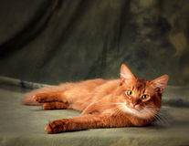 Somali cat. A big somali cat lying on his side and looking straight in the camera shot on a green background in studio Royalty Free Stock Images