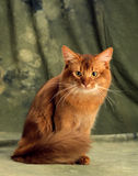 Somali cat. A big somali cat sitting on a green background with his big furry tale wrap around him Stock Photo