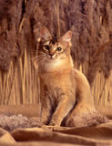 Somali cat. A big somali cat sitting on sand colored backdrop with cattail plant in the back Royalty Free Stock Photo