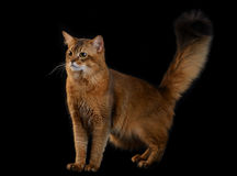 Somali cat on black background Royalty Free Stock Images