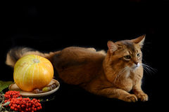 Somali cat on black background. Somali cat  ruddy color on black background Royalty Free Stock Photos
