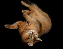 Somali cat on black background. Somali cat  ruddy color on black background Stock Image